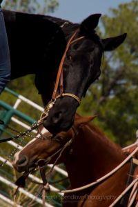 www.Cowboy4Sale.com, texas, horses, horse, for sale, country, stud, mare, breeding, bred, easy, jet, cash, dash, safe, longhorns, sorrel, buckskin, washington, kids, beginner, advanced, show, pleasure, trail, riding, cowboy, cowgirl, freckles, playboy, calf, show, prca, rope tie down, cutting, pepto, peppy, red roan, bay roan, blue roan, stud   Armitas, chaps, chinks, shaps, cowboy, vaquero, buckaroo, leather, headstall, bridle, saddle, saddle bags, hobbles, cowgirl, bosal, gear, rawhide, tack, shop, custom