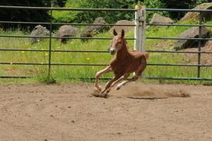 Woody - Playdox/Dual Ray 2013 colt