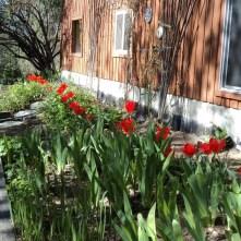 Appledore tulips, deer dessert