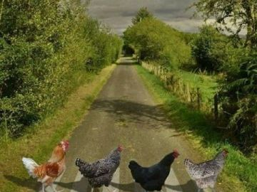 abbey road galline