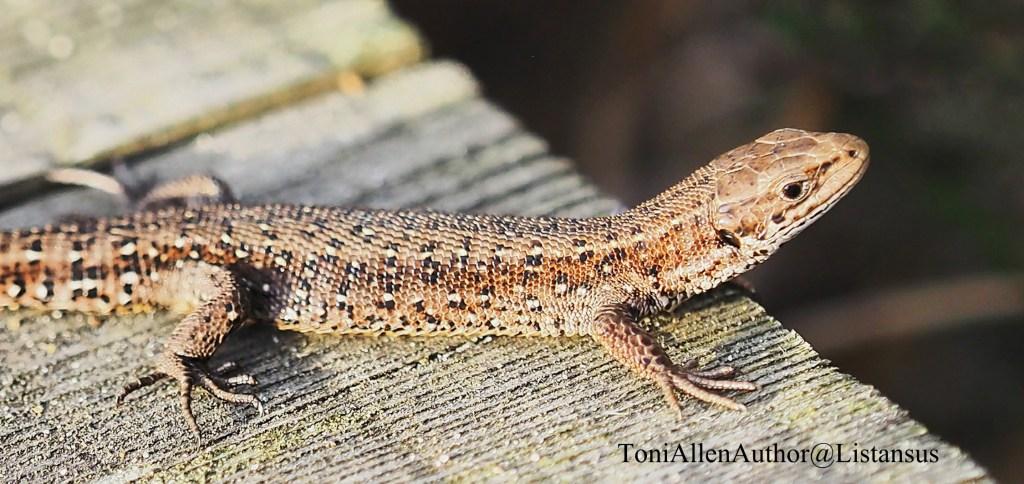 Common lizard at Elstead boardwalk