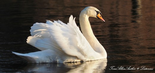 Swan at Frensham Pond