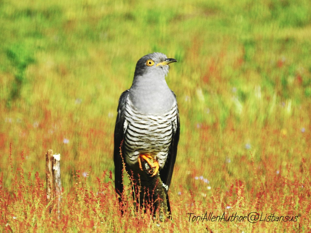 Charlie the cuckoo perched near the ground