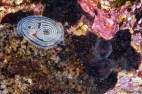 Onchidoris cf. pusilla. Mar Menuda, Tossa de Mar. 15m. 15ºC. Infralapidícola. Seguiment d'aquesta parella al blog del GROC ( http://blog.opistobranquis.org/2010/05/seguiment-de-les-onchidoris-cf-pusilla.html ) .