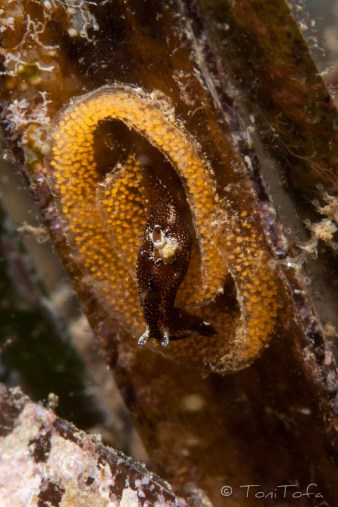 Aplysia parvula passejant sobre posta d'un possible dorid. Mar Menuda, Tossa de Mar. 5m. 19ºC.