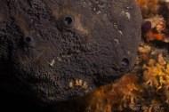 Reunió de Trapania maculata, amb alguna Trapania lineata infiltrada, alimentant-se d'hidrozous damunt l'esponja Sarcotragus spinosulus. Punta del Romaní, l'Escala. 15m. 19ºC.