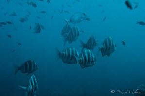 Banc de sards imperials. Mar Menuda, Tossa de Mar. La foto és dolenta (i anava amb el macro), però mai n'havia vist tants de junts... En vaig contar 18, en Titu 16, deixem-ho en 17.