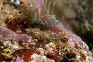 Cala Llobeta, l'Ametlla de Mar. 5m. 21ºC. Infralapidícola. S'alimenta d'anemones, com la que té al darrera, adquirint les cèl·lules urticants que utilitza com a defensa. També acumula unes algues a dins les cerates, les zooxantel·les, que viuen dins i li proporcionen aliment a través de la fotosíntesi a canvi de protecció.