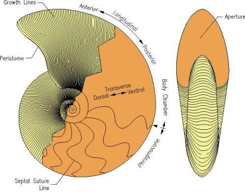 labeled diagram of octopus 2003 kia sedona wiring morphology fossil cephalopod shells the news magazine
