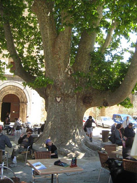 Ancient plane tree in Saint Guilhem-le-Desert