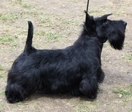 CACIB Szilvasvarad Hungary scottish terrier