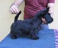 Scottish terrier puppies - FOR SALE