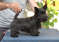 Beautiful scottish terrier puppy - start new life!