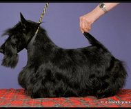 Scottish terrier puppies!
