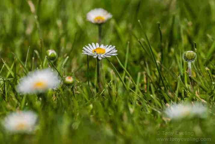 This is a photo od a daisy and the photo is an example of narrow depth of field where the near and far areas in the photo are out of focus.