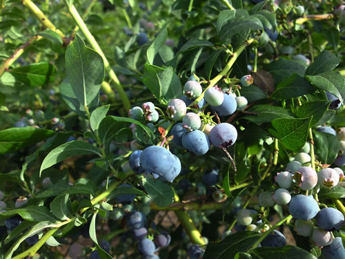 Blueberries on the bush zoomed-in