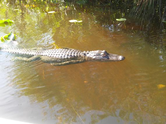 Gator Park swimming gator