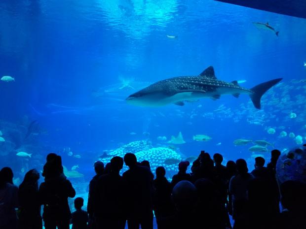 Chimelong whale shark