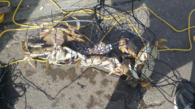 Westport crabbing