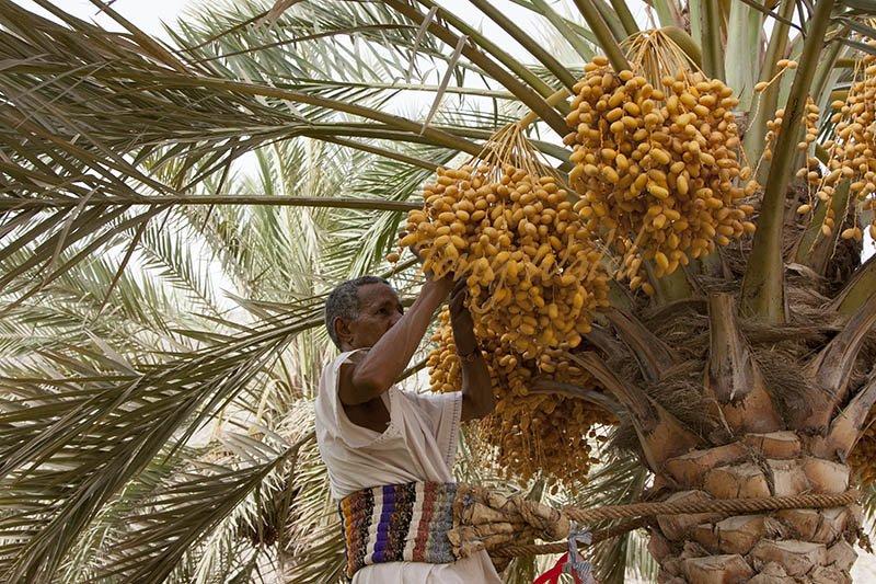 Date Harvest Oman