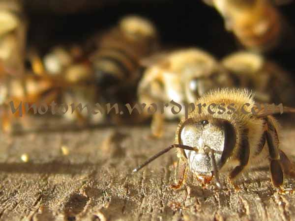 Bees in Dhofar