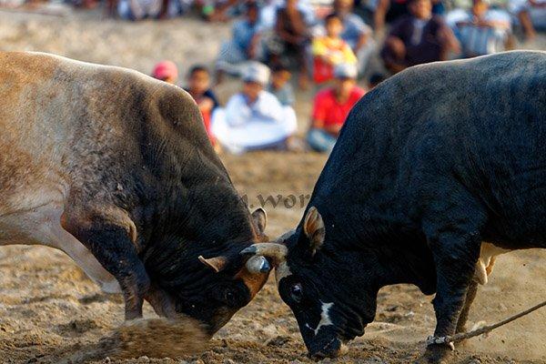 Bull Fight Khaboora Oman