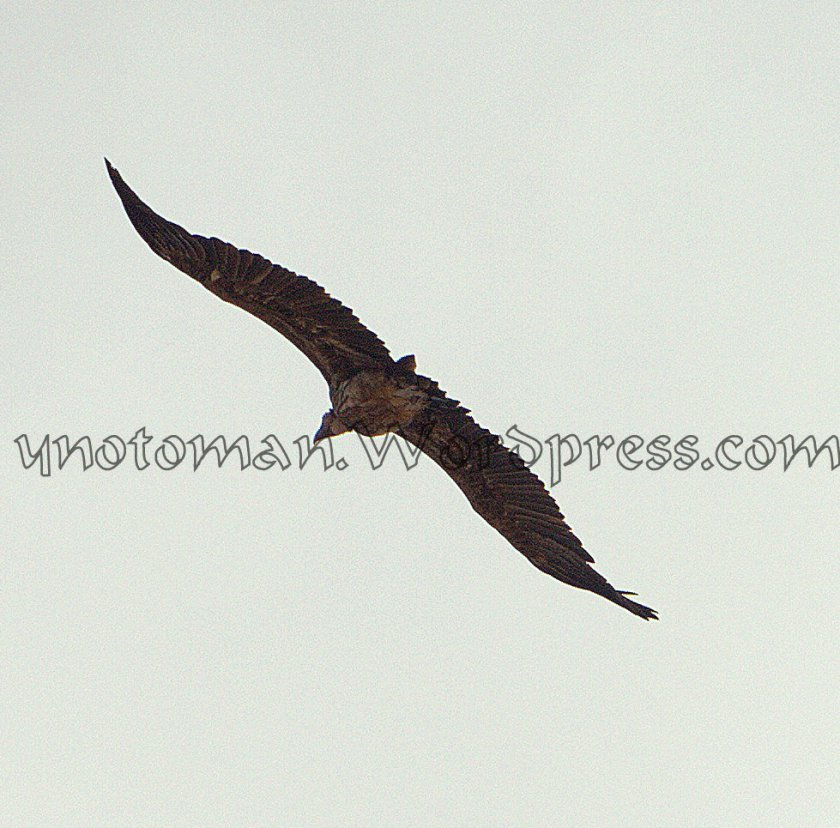 One of a flock of 8 Griffin Vultures over Dhofars Mountains