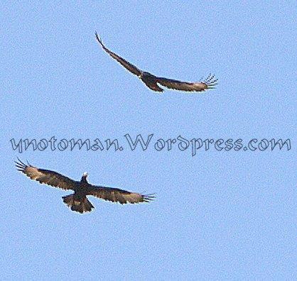 Verreaux's Eagles in the skies of Dhofar