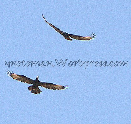 Verreaux's Eagles in the skies of Dhofar