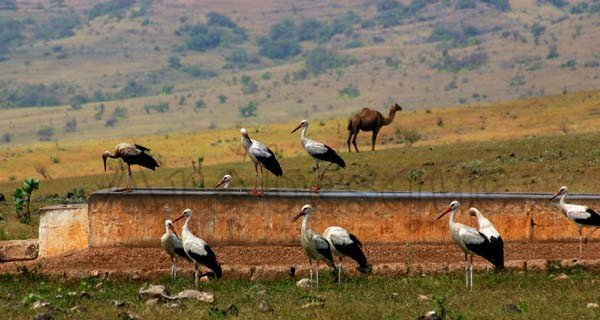 1/1/11 ........ 1 Camel, 1 drinking trough and 11 White Storks in Salalah Oman