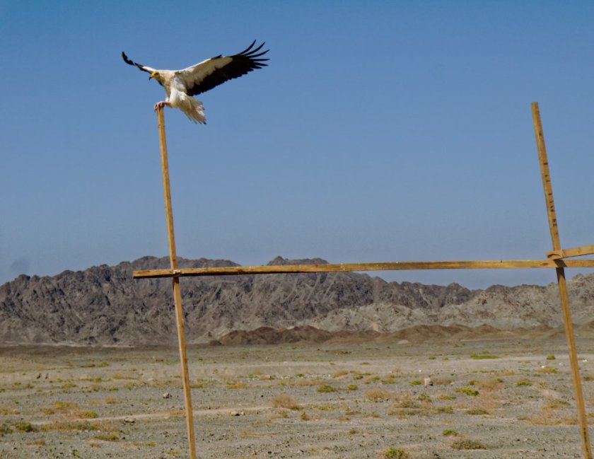 Egyptian Vulture on Masirah Island