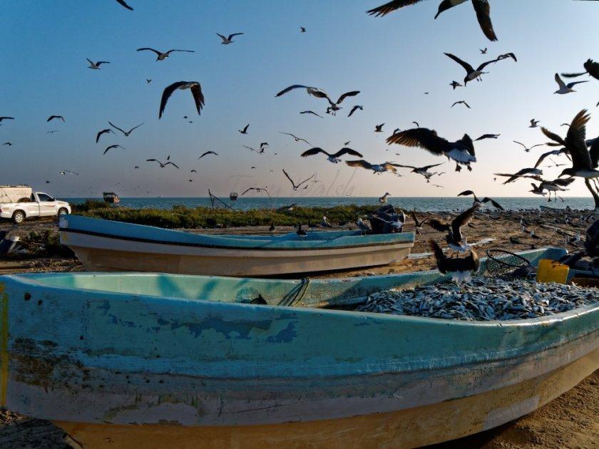 Sooty Gulls and Sardines