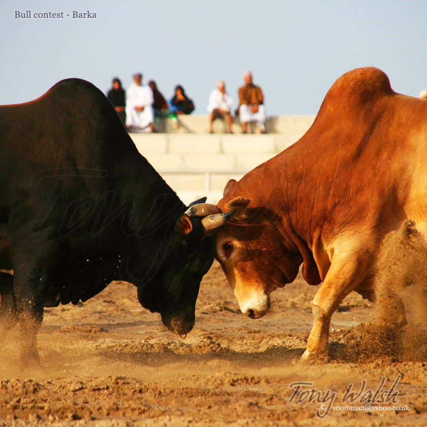 Bull contest Barka