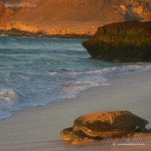 Green Turtle - Oman