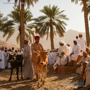 Livestock Auction - Nizwa