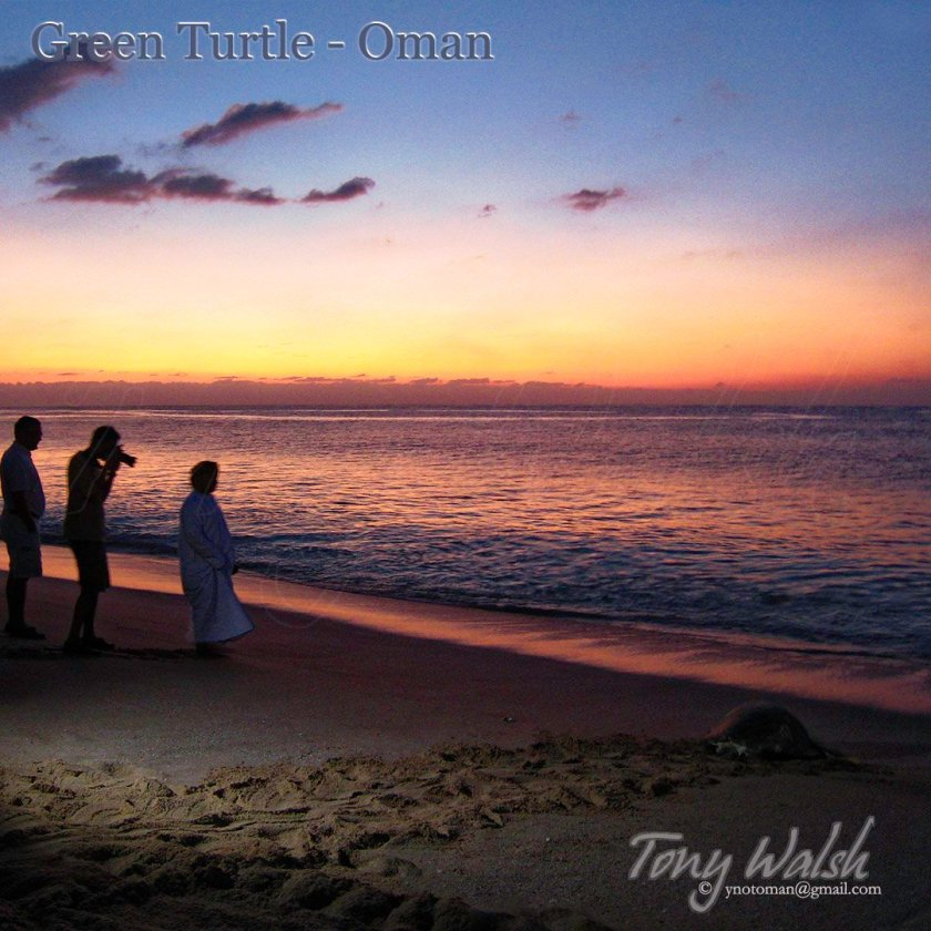 Green Turtle Sunrise Oman