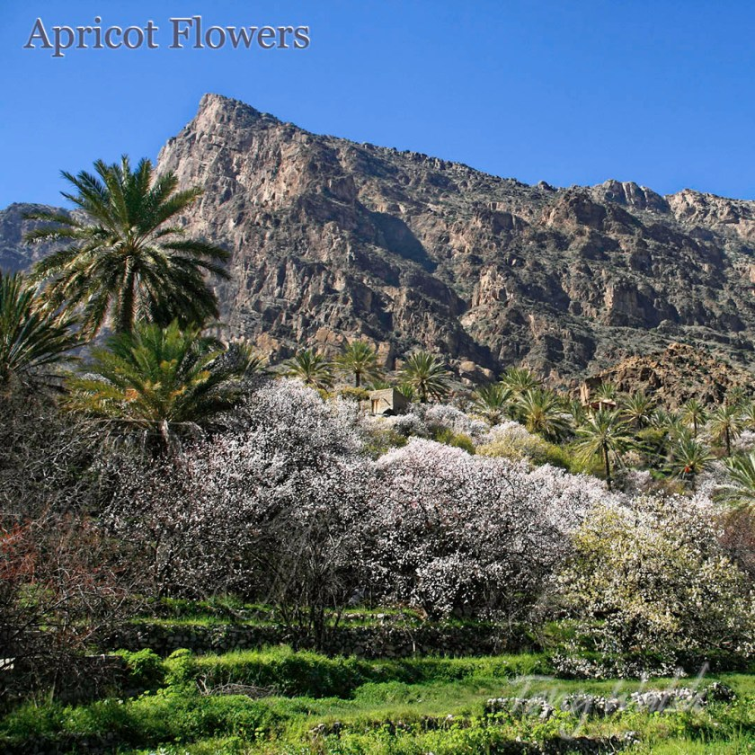 Apricot Flowers Oman