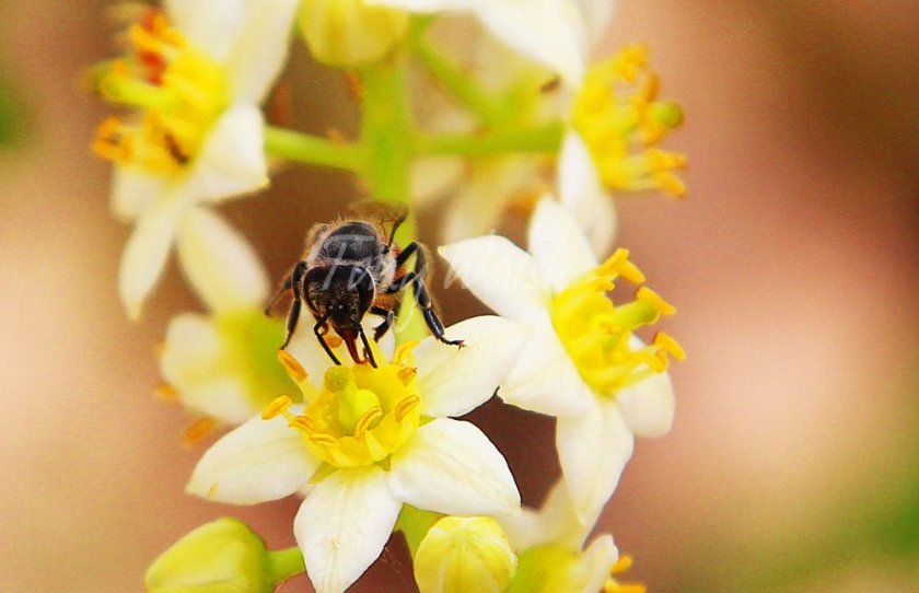 Bee on a Frankincense Flower