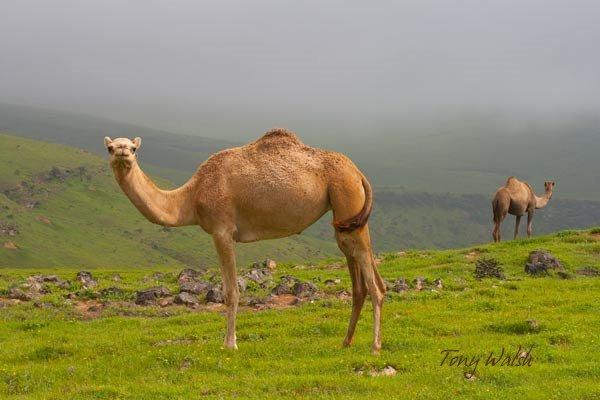 Camels in Salalah