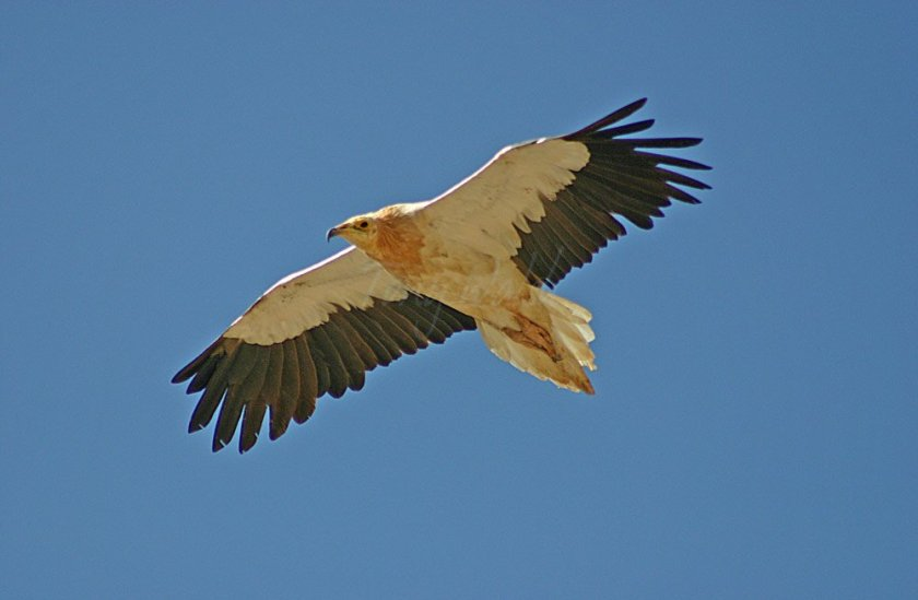 One of the 40 Egyptian Vultures Counted