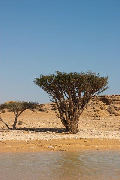Frankincense Wadi Dawkah
