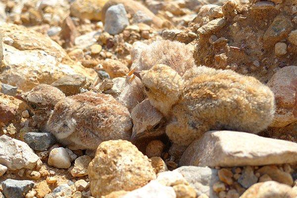 Lichtenstein's Sandgrouse chicks in Oman