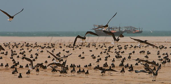 Sooty Gulls Oman