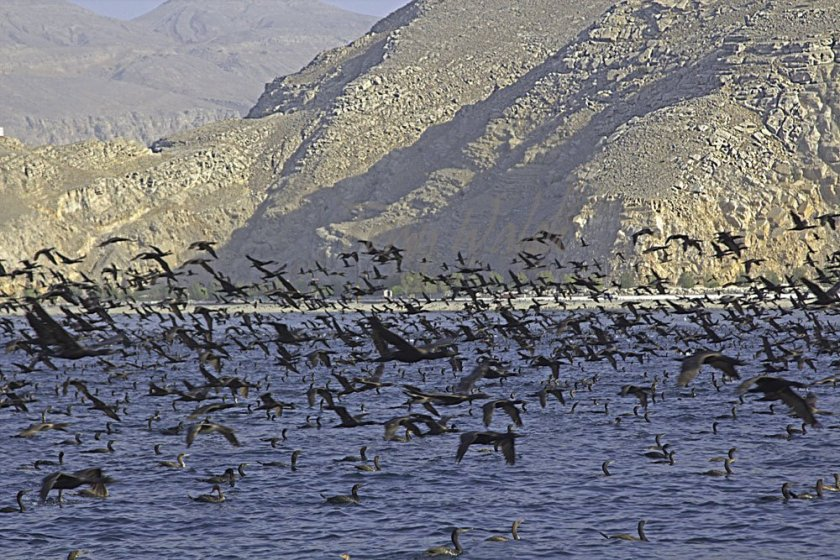 Socotra Cormorants off Khasab