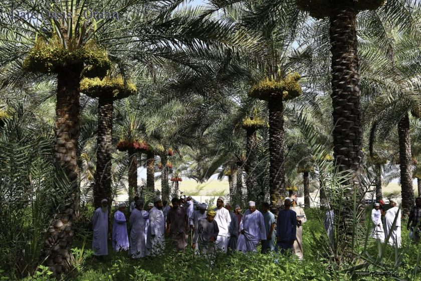 Date Oasis Oman