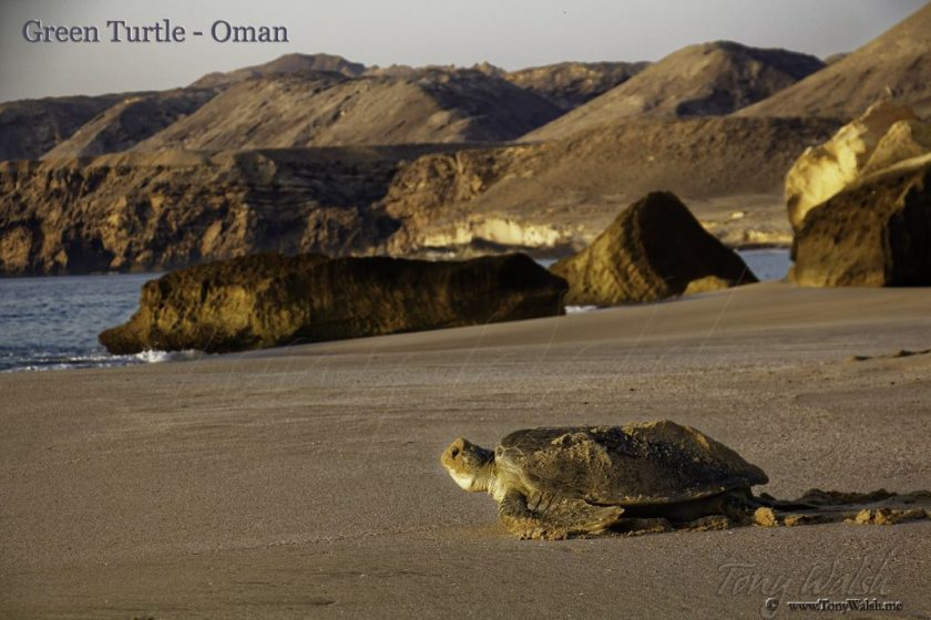 Green Turtle Oman