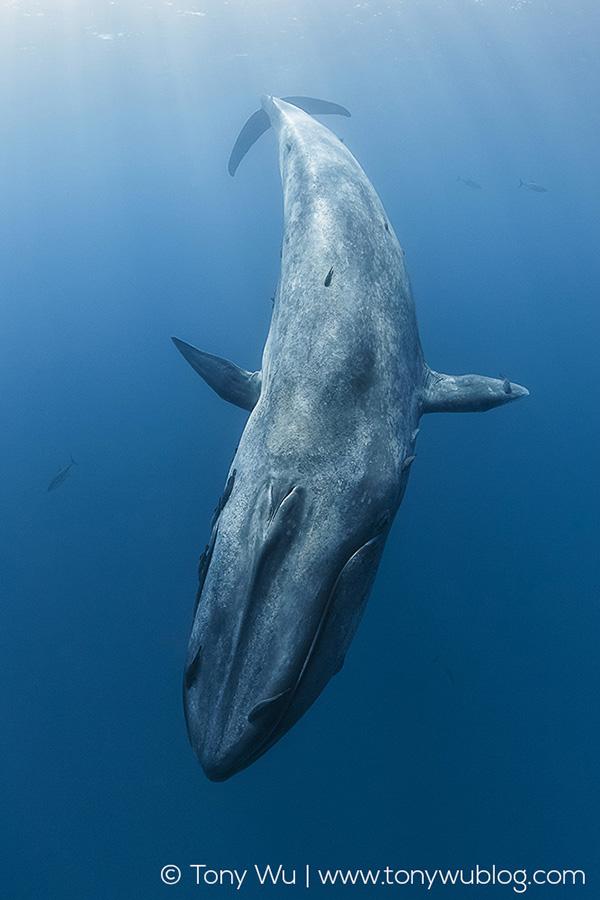 Pygmy Blue Whale Balaenoptera Musculus Brevicauda