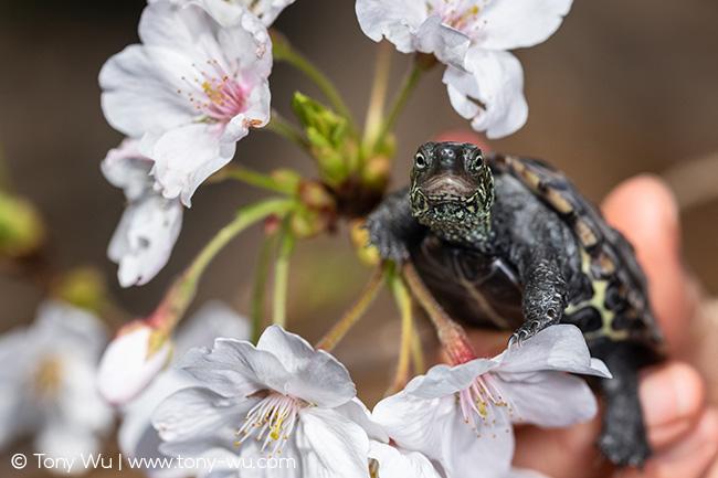 Oogway, Mauremys reevesii turtle