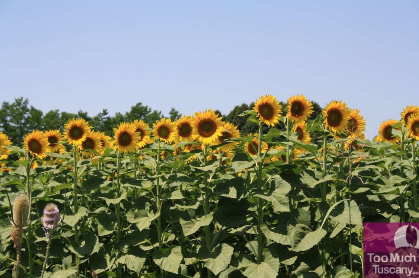 Sunflowers in Tuscany
