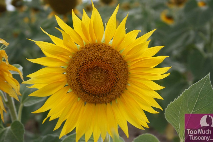 Sunflower in Tuscany